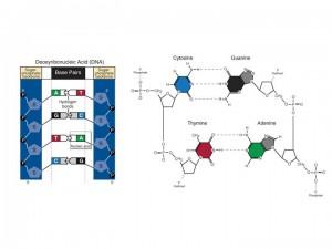 Nucleotide Base Pairing