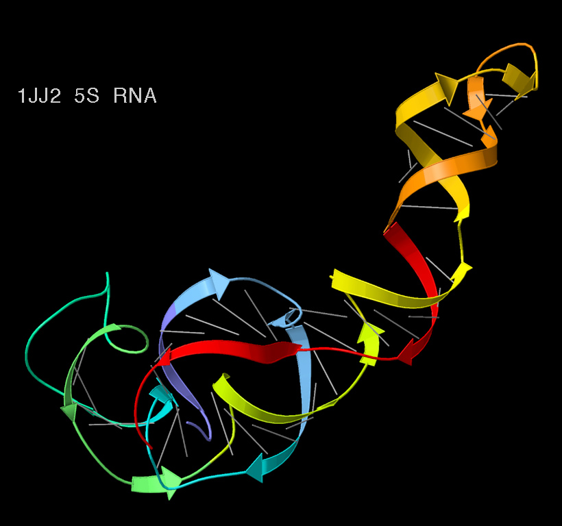 5S_ribosomal_RNA_ribbons fact sheet ribosomal rna (rrna), the details microbenet the