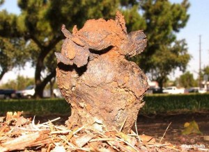 Dog Turd Fungus