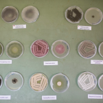 Chernobyl fungi sent to ISS are grown in petri dishes in the lab at NASA's Jet Propulsion Laboratory.