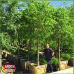Sissoo tree, Moon Valley Nurseries, Arizona